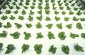 Hydroponic lettuce farming at the epcot center fl Stock Photography