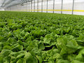 Hydroponic Lettuces Royalty Free Stock Photography