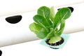 Hydroponic Vegetable Royalty Free Stock Image