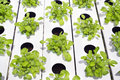 Hydroponic vegetable gardening grown in a system Stock Images