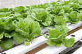 Hydroponic vegetable (Green Cos) in farm Royalty Free Stock Image