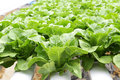 Hydroponic vegetable (Green Cos) in farm Stock Images