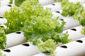 Hydroponic vegetable is planted in a garden. Royalty Free Stock Photo