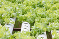 Hydroponic vegetable is planted in a garden. Royalty Free Stock Image