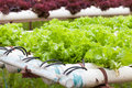 Hydroponic vegetable is planted in a garden. Stock Photography