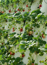 Hydroponically Grown Strawberry Vines Royalty Free Stock Photo