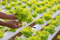 Hydroponics method of growing plants using mineral nutrient solu Royalty Free Stock Photo
