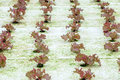 Hydroponics red oak salad vegetable in plantation Stock Images