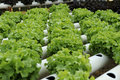 Hydroponics vegetable Royalty Free Stock Image