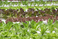 Hydroponics vegetable farm organic hydroponic growth cultivation background Royalty Free Stock Photos