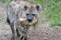 Hyena carries hay a spotted in her mouth Royalty Free Stock Photography