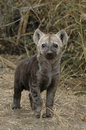 Hyena cub Royalty Free Stock Photo