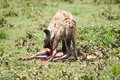 Hyena hunting, Serengeti national park, Tanzania, Africa Royalty Free Stock Photo