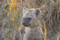 Hyena pup at a den in the wild Royalty Free Stock Photo