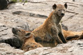Hyena - Serengeti, Africa Royalty Free Stock Photo