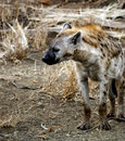 Hyena sleeping on it's feet. Royalty Free Stock Images