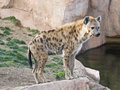 Hyena Standing on a Rock Royalty Free Stock Photos