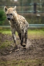 Hyena is very interesting mammal Royalty Free Stock Image