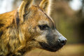 Hyena is very interesting mammal Stock Image