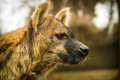 Hyena is very interesting mammal Royalty Free Stock Photography