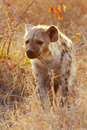 Hyena walking in early morning Royalty Free Stock Photography