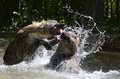 Hyena waterplay2 Stock Photography