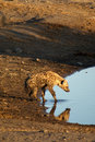 Hyena at waterpool drinking in etosha national park in namibia Stock Image