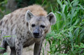 Hyena a young walks along the edge of some grass Royalty Free Stock Image