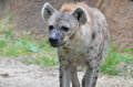 Hyena a young walks along the edge of some grass Stock Image