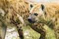 Hyenas ready to attack two spotted Royalty Free Stock Photos