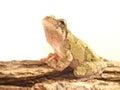 Hyla chrysoscelis gray tree frog against white background Stock Photo
