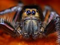 Hyllus diardy biggest jumping spider in the world mm leg span Stock Image