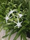 Hymenocallis coronaria or Shoals spider lily. Royalty Free Stock Photo