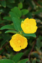 Hypericum Royalty Free Stock Photo