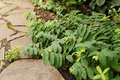 Hypericum calycinum branches lie on the path of sandstone. Selec Royalty Free Stock Photo