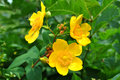 Hypericum patulum 'Hidcote' Royalty Free Stock Photo