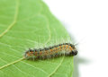 Hyphantria cunea larva leaf isolated white Stock Photo
