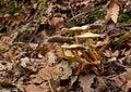 Άγρια μανιτάρια Hypholoma fasciculare Στοκ εικόνες με δικαίωμα ελεύθερης χρήσης