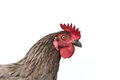 Hypnotized hen Royalty Free Stock Images