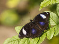 Hypolimnas bolina butterfly on a green leaf Stock Photography