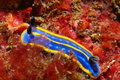 A hypselodoris cantabrica nudibranch species of Stock Images