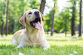 I adore you beautiful labrador retriever dog in the park sunny day Royalty Free Stock Image