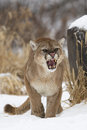 I dare you upset and angry mountain lion roaring with mouth open and canine teeth showing Stock Image