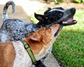 I love my sister brother and red and blue heelers loving on each other Stock Images