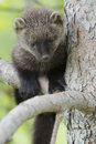 I love to climb a young fisher pup climbing up a fir tree Stock Images