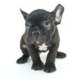 I m sorry little french bulldog puppy looking sad or about something he has done on a white background Stock Photography