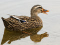 I m talking to you female mallard duck anas platyrhynchos quacking and or calling out whie swimming in a lake Royalty Free Stock Images