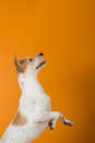 I want it a happy dog who is anticipating something good the empty space above can be used to input text or other images Royalty Free Stock Photo