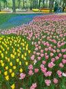 Ibaraki, Japan-April 16, 2018 : Tourists are admiring tulips in Royalty Free Stock Photo
