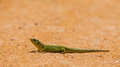 Iberian Emerald Lizard Royalty Free Stock Photo